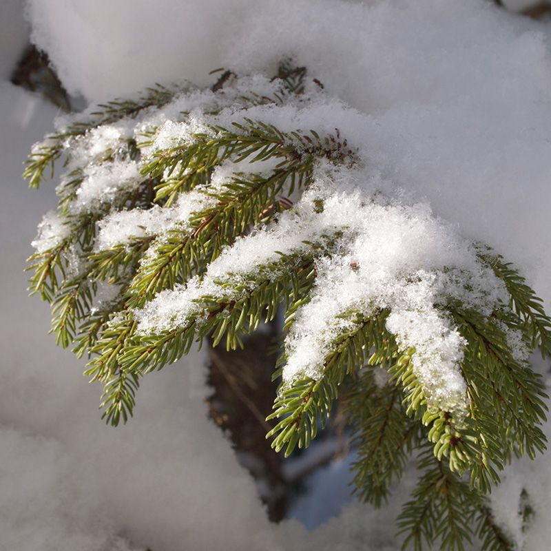 Soft light on a snowy spruce branch