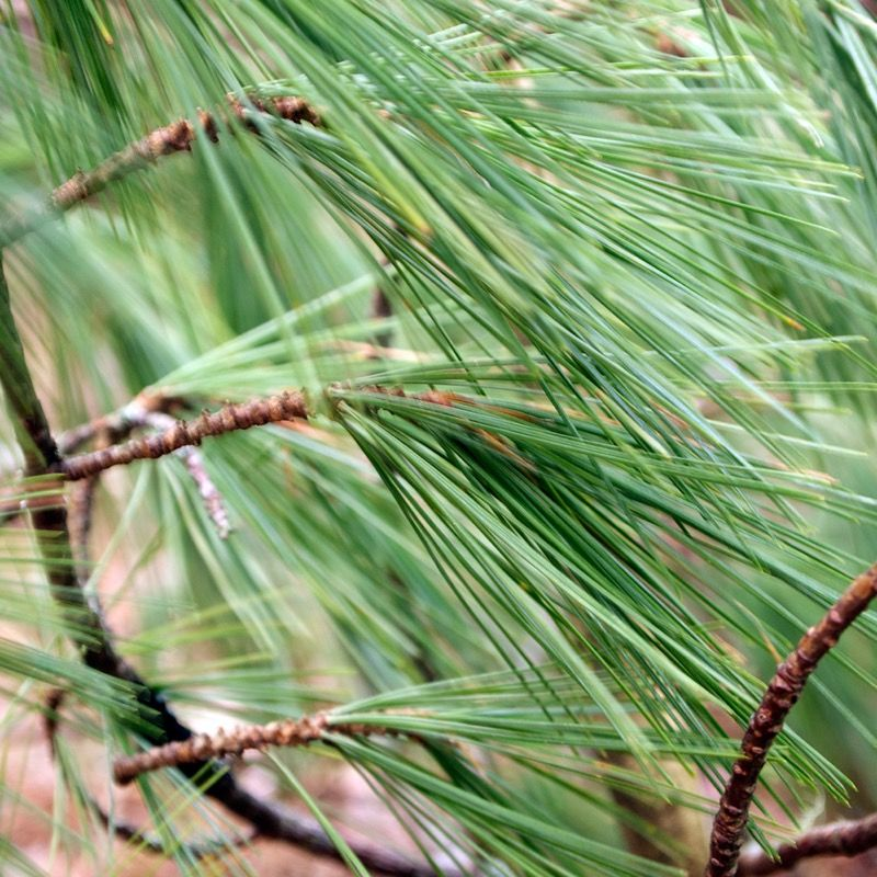 Pine needles in the wind