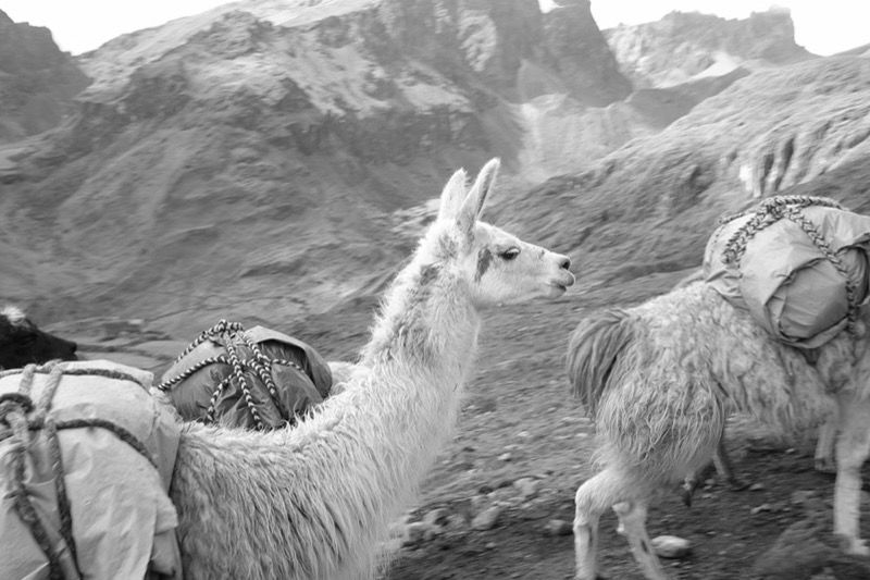 Llamas with our gear on the Lares Trek