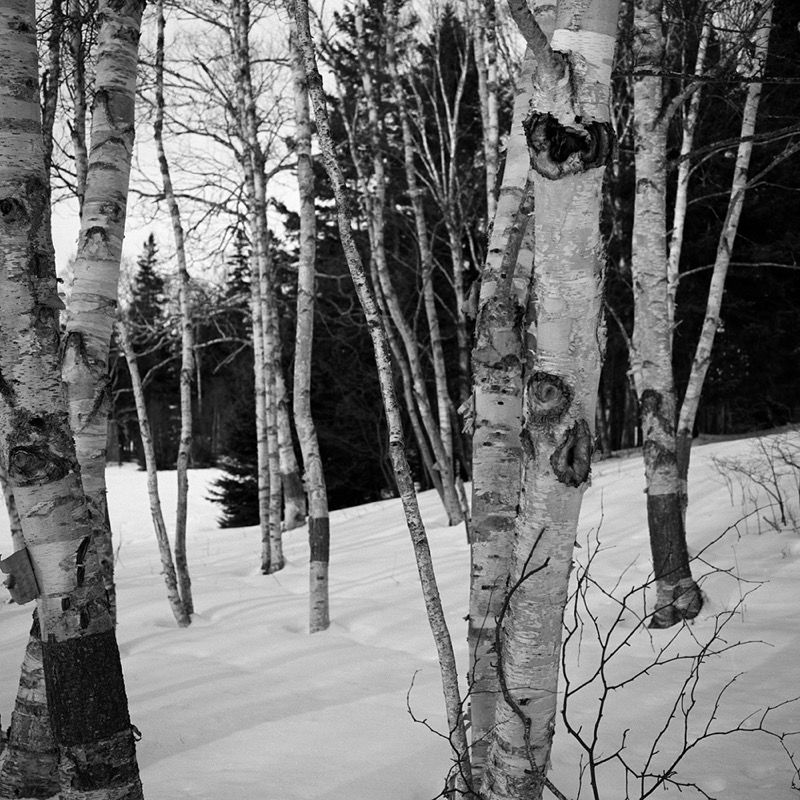 Young Birch in winter, Camp Barrachois